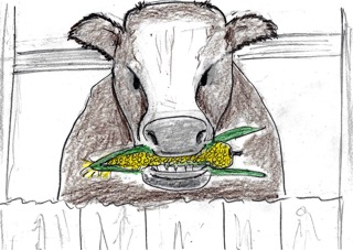 Cow with a cob of corn